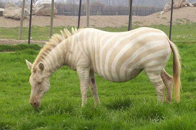 <p>Albino zebra</p>
