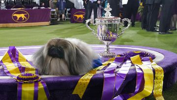 Wasabi, a Pekingese, rests on the winner's podium with its trophy and ribbons after winning Best in Show at the Westminster Kennel Club dog show, on June 13, 2021, in Tarrytown, NY.
