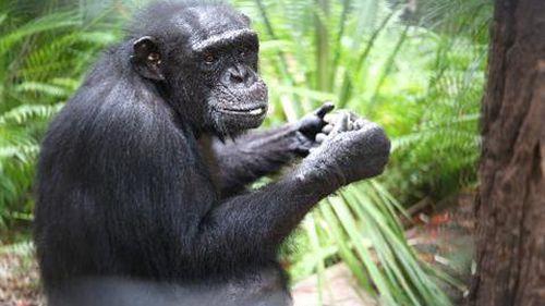 Rockhampton Zoo devastated by stillborn baby chimpanzee