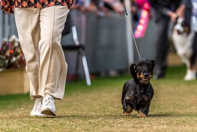 Best puppy in show: wire-haired dachshund
