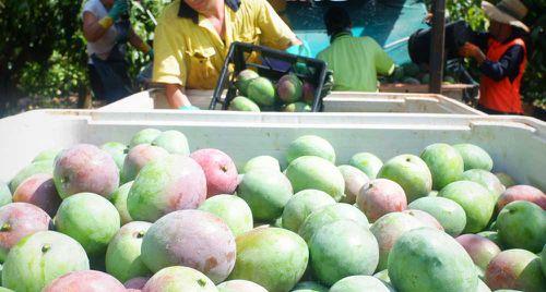 Mango harvesting in Queensland
