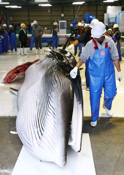 A fisherman purifies the first minke whale with a sake before cutting at Kushiro Fishing Port on the opening day of commercial whaling in Kushiro, Hokkaido Prefecture.