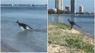 'Skippy' the kangaroo spotted cooling off in water
