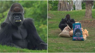 Melbourne's favourite silverback gorilla has enjoyed a couple of birthday bags to celebrate his big one-nine.