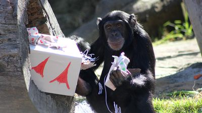 This chimp looks chuffed with its gifts.