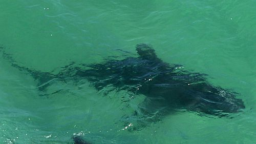 A 3.5 metre shark attacked a pod of dolphins off a Newcastle beach, keeping the surf and sand closed. (Supplied)