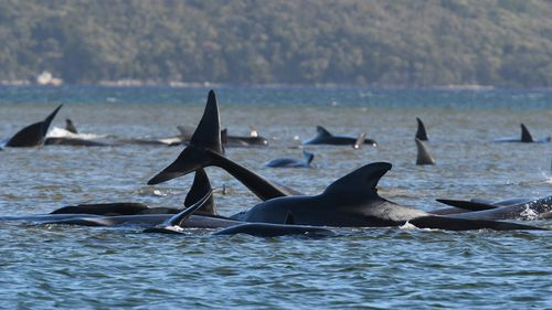 Hundreds of pilot whales were left stranded on a sand bar in Macquarie Harbour.