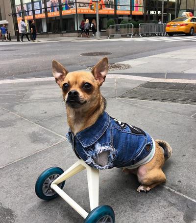 TurboRoo the dog (321,000 followers on Instagram)