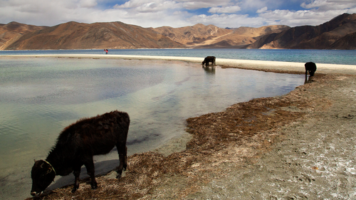 In this Sept. 14, 2018, file photo, cattle drink water at Pangong Lake, the site of several confrontations between India and China in Ladakh region, in Ladakh, India.  (AP Photo/Manish Swarup, File)