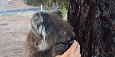 <p>South Australians have opened their hearts to wildlife caught up in a bushfire which has destroyed more than 30 homes in the Adelaide Hills.</p><p>   As temperatures continue to hover around 40°C, heat-stricken native animals, in particular koalas, have been filmed enjoying water offered to them by sympathetic locals. </p><p>  On top of offering a bottle of water, around 800 volunteers have offered to care for injured creatures, The National Animal Rescue Groups of Australia (NARGA) Disaster Response Team told the ABC. </p><p>  More than 375 firefighters from South Australia, Victoria and New South Wales are working to contain the 240-kilometre perimeter of the bushfire, which has already burned more than 12,000 hectares. </p><p>  Twenty-nine people have also been reportedly hospitalised as a result of the blaze. </p><p></p>