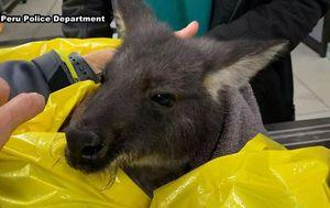 Wayward wallaroo rescued from river after chase in US