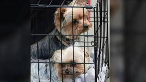 Johnny Depp's Yorkshire terriers, Pistol and Boo. (9NEWS)