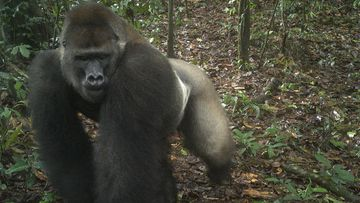 This photo taken by a camera trap shows a Cross River gorilla in the Mbe Mountains of Nigeria.