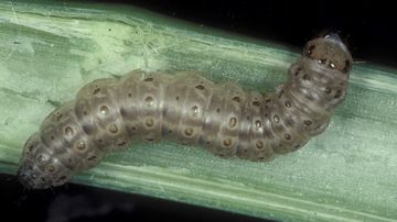 This undated image made available by Frank Peairs in 2007 shows a European corn borer.