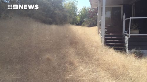 Forget Body Snatchers, this Victorian resident's home has been invaded by tumbleweeds. (Copyright: 9NEWS)