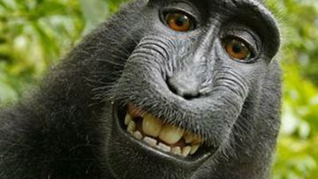 PETA heads back to court over the copyright of a selfie taken by a macaque monkey (Supplied/Wikimedia).