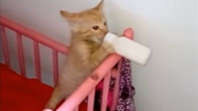 Kitten Drinking Milk In Crib