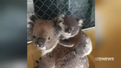 The joey is about five months old and weighs 1.1kg.