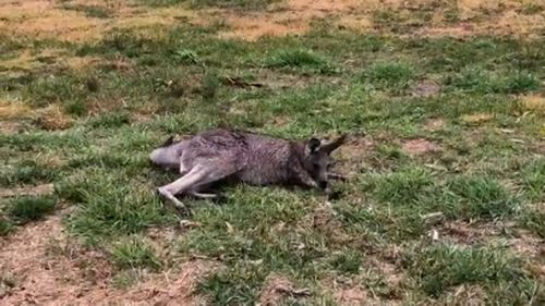 A kangaroo suffering from phalaris staggers.