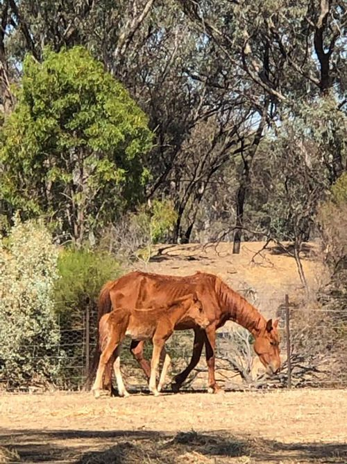 150 brumbies in the Barmah National Park north-east of Echuca are in dire conditions.