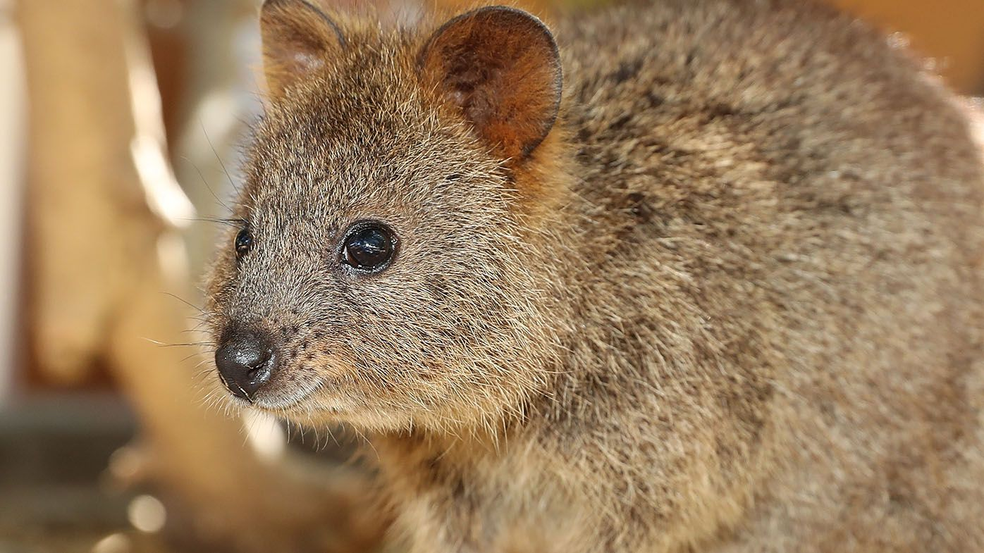 The NRL Economist: West Coast Quokkas name registered with eye to NRL inclusion