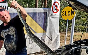 Two carpet pythons retrieved from two separate car bonnets in south-east Queensland