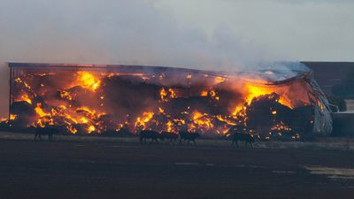 This image shows cattle walking past a burning shed on a farm near Freeling. A piggery was lost with an estimated 2000 sows killed. (AAP)