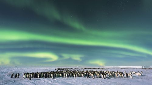 The Southern Lights - Aurora Australis - dazzles the sky over an Emperor penguin colony in Atka Bay, Antarctica.