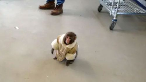 Darwin the macaque scampered through an IKEA in Canada.