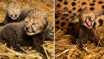 Cheetahs born using IVF