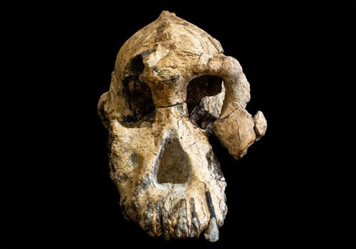 The fossil skull is the most complete specimen ever found in sediments older than 3 million years