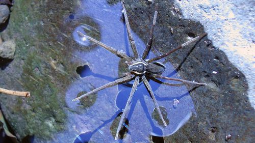 Newly discovered Queensland 'surfing' spider can ride waves and eat toads