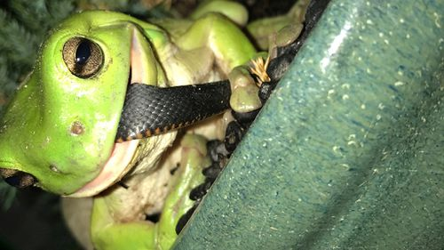 Green tree frog takes on red-bellied black snake in Queensland