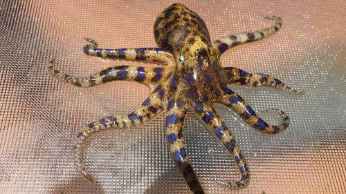 Blue-ringed octopus Western Australia beaches