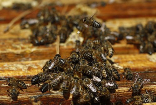 Africanised bees are a hybrid species that are known to be deadly. Picture: AAP