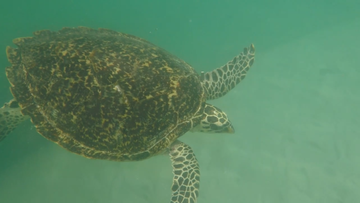 The large loggerhead turtle had a flipper amputated due to its injuries.