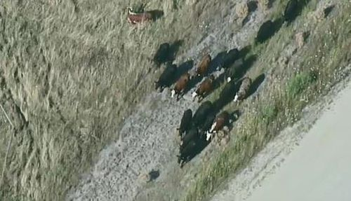 Crews are working to herd cattle into nearby paddocks.