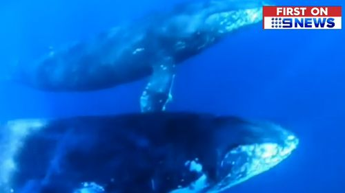 A Gold Coast jet ski rider has come a little too close for comfort to a curious humpback whale near South Stradbroke Island.