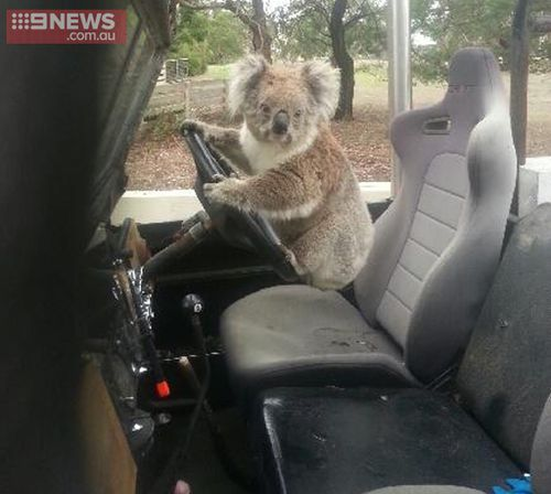 Australian schoolboy finds koala trying to drive a car