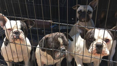 Pets including French Bulldogs, Chihuahuas, Maltese Shih Tzus and Sphynx and Munchkin cats were found at the property (Facebook).