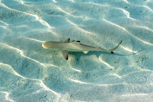 It is believed the woman was attacked  y a 1.6 metre black-tip reef shark off the coast of Kealakekua Bay.
