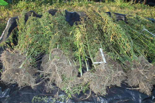 Police allegedly found three cannabis crops worth more than $1 million on a Queensland property.