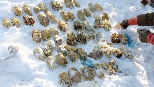 Twenty-seven sets of human hands were found to be inappropriately disposed of by a forensic lab. (Siberian Times)