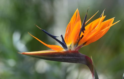 A bird of paradise flower in the newly restored Victorian Temperate House in Kew Gardens. (AAP)