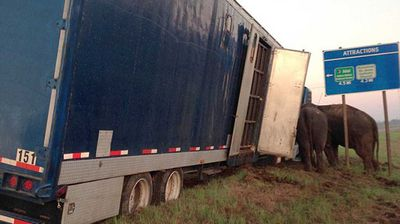 "When deputies arrived on scene, they were ""astounded"" to <a href="" http://www.npsheriff.org/News_Article.aspx?ArticleID=729 ""> find two elephants keeping the truck </a> from a certain rollover."