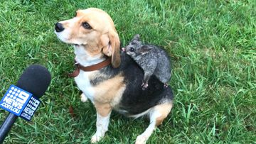 Beagle and baby possum's unlikely friendship after heartbreak