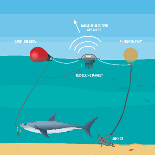 SMART drumlines consist of an anchor, two buoys and a satellite-linked GPS communications unit attached to a baited hook.