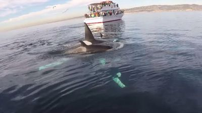 "<p>A California paddleboarder has ticked seeing Orca whales in the wild off his bucket list after managing to capture a ""magical"" encounter with the creatures on video.</p><p>  Paddleboard enthusiast Rich German was off the coast of Laguna Beach in early January when he came across five Orcas, more commonly known as Killer Whales. </p><p>  ""I've been paddleboarding off the coast of Laguna Beach for years now, pretty much every day,"" Mr German says. </p><p>  ""I'd heard the day before there was a small pod of Orcas off of Long Beach heading south and I took a shot that it might be them, and to my great delight and amazement, it was."" </p><p>  Despite their reputation, Mr German said he wasn't afraid. </p><p>  ""The truth is, I was too excited to be scared … This was an amazing, magical afternoon."" </p><p>  As beautiful as they are, Orcas can be awe-inspiring creatures. </p><p>  Check out this gallery to see why. </p><p></p>"