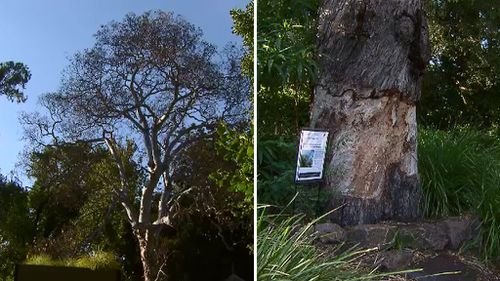 Vandalised historic tree in Melbourne's Botanic Gardens to get the chop