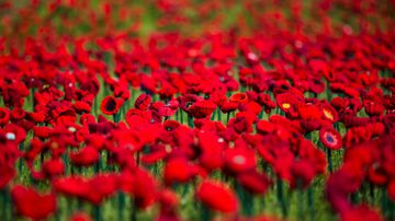 62,000 hand-knitted poppies to mark remembrance in Australia